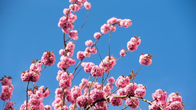 Christoph Höhtker: Kirschblüten im April