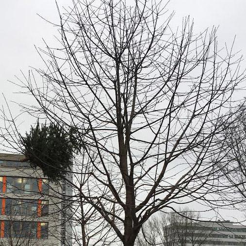 Der Baum im Baum oder was bei »Knut« (das schwedische, nicht der Eisbär, Eingeweihte wissen schon…) so alles schiefgehen kann.