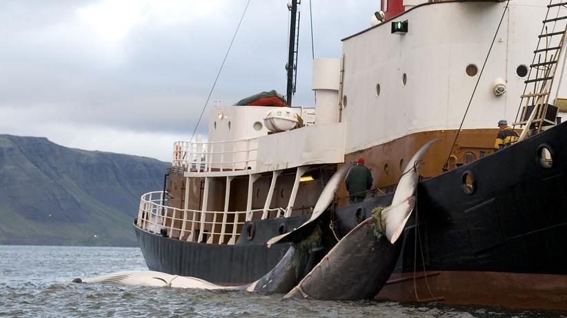 Walfang: Zwei tote Finnwale hängen vor der Küste von Hvalfjsrour, nördlich von Reykjavik, an einem Boot (Archivbild)