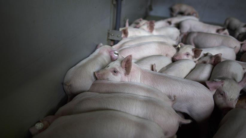 Massentierhaltung: Hauptsache, das Fleisch ist billig!