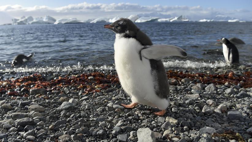 Pinguine: Der Vorfahr heutiger Pinguine? Ein Monstervogel!