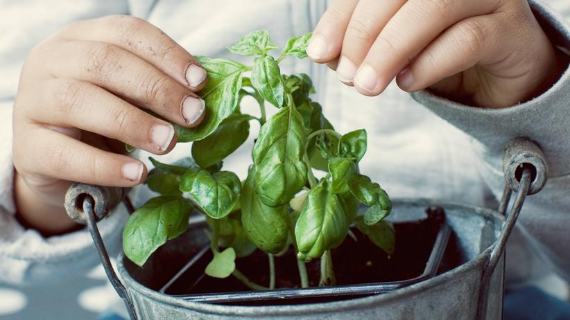 Pflanzen: Wächst Basilikum schneller, wenn man es streichelt?
