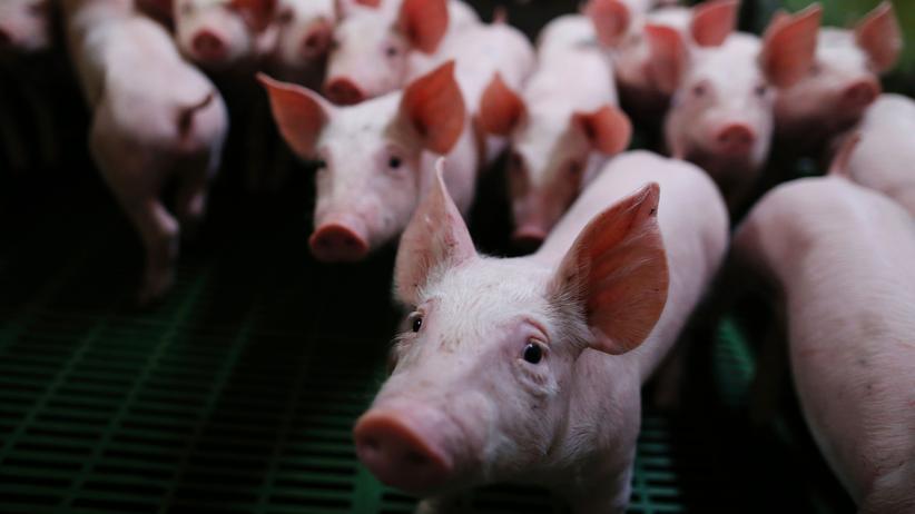 Ferkelkastration: Arme Schweinchen