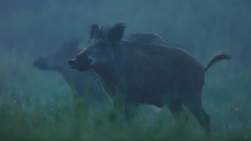 Afrikanische Schweinepest: Ebola der Schweine