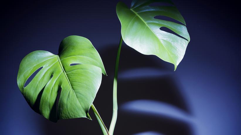 Zimmerpflanze: Sie lebt