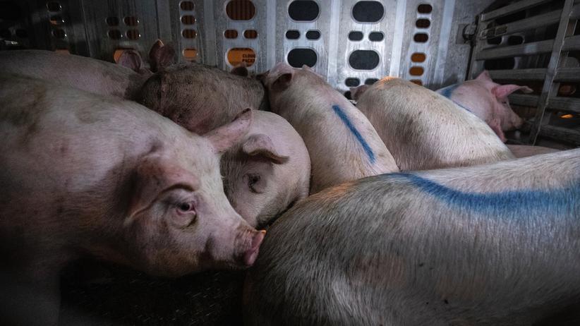 Tiertransporte: Grausam und brutal