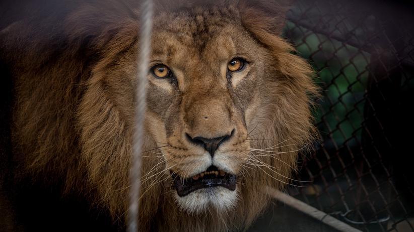 Löwen: Zahlen, streicheln, schießen