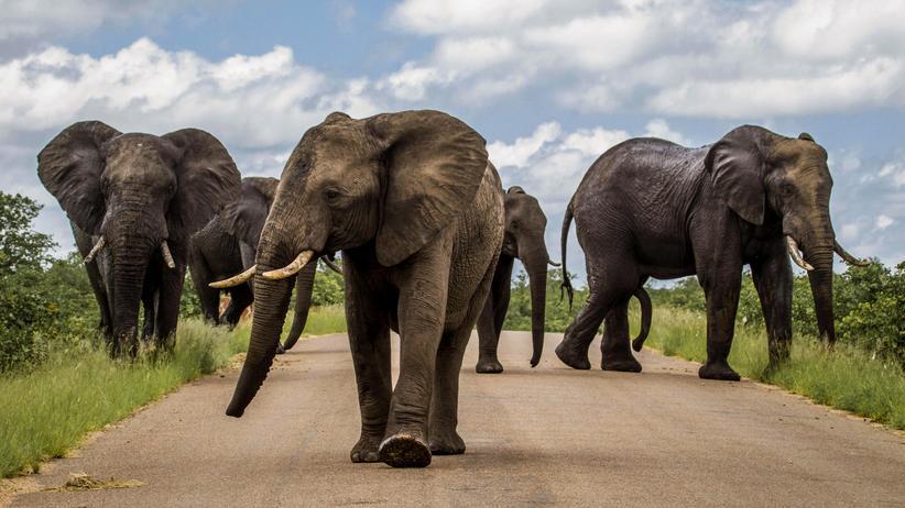 Artenschutz: Darf man Elefanten töten?