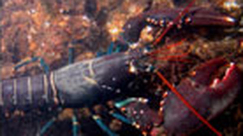 Meeresfauna: Hilfe für den Hummer