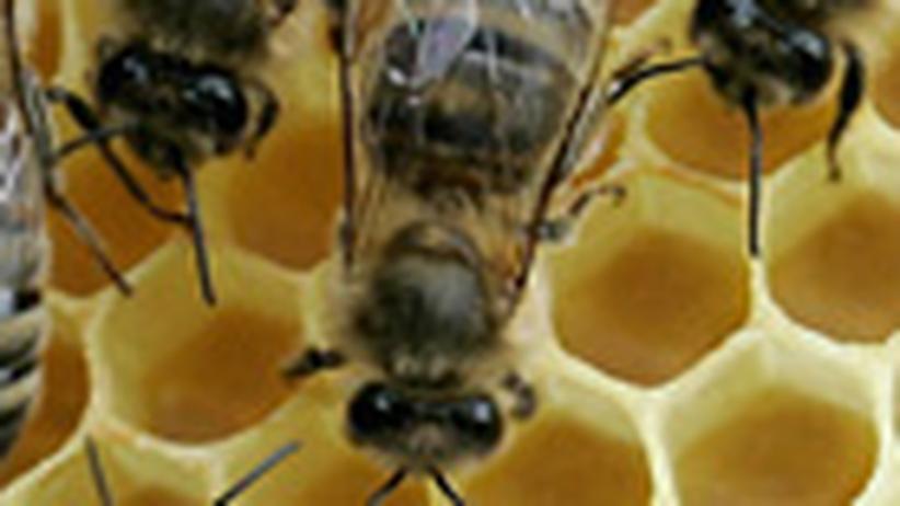 Bienen können zählen: Eins, zwei, drei, vier, viele
