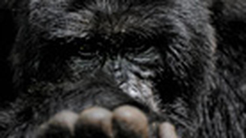Läuse: Die Rache der Gorillas