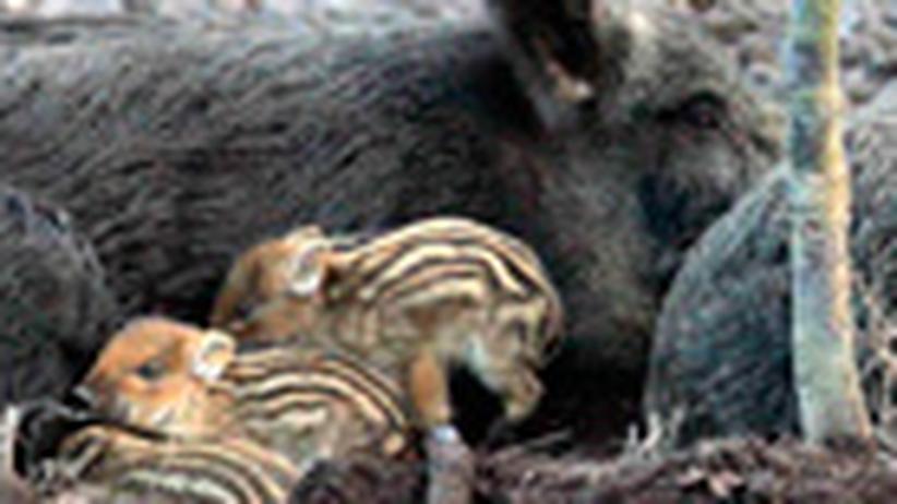 Umwelt: Schweine im  Schlaraffenland