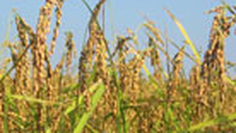 Italien: Korn für Korn