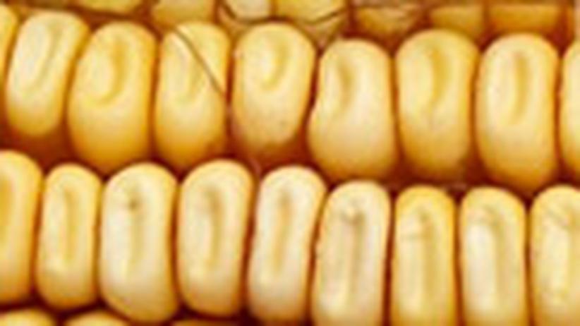 Gentechnik: Monsantos Erntezeit