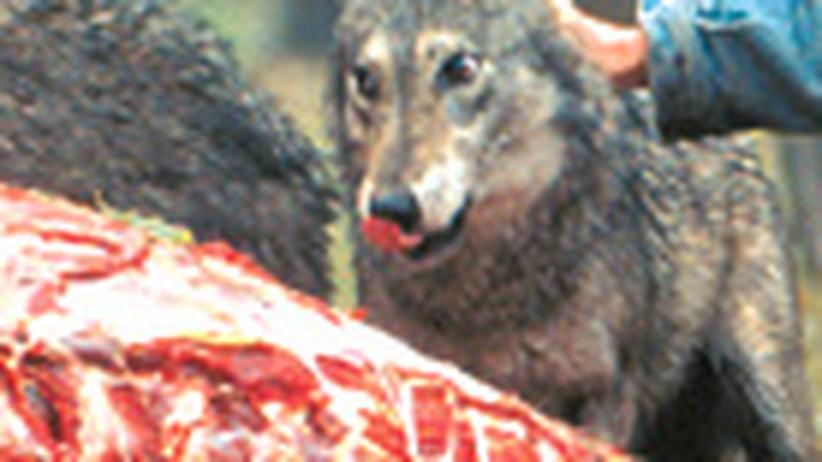 Tiertrainer: Der Boss der Wölfe