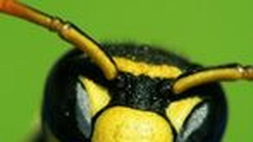 Schrecken Münzen Aus Kupfer Wespen Ab Zeit Online