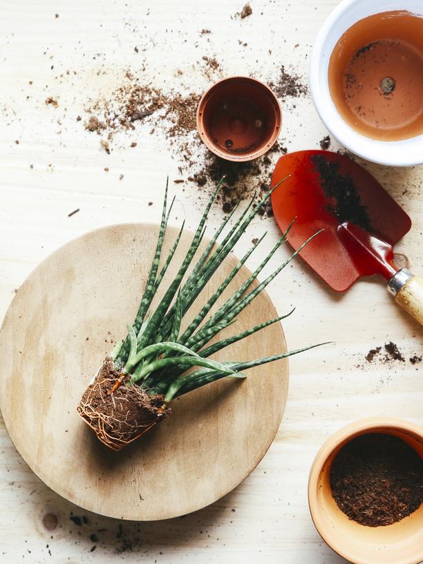 Zimmerpflanzen: Erwachsen ist man erst, wenn die Pflanze überlebt