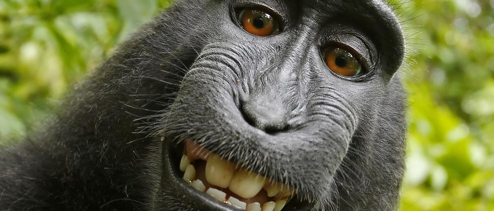 Selfie eines indonesischen Schopfaffen-Weibchens