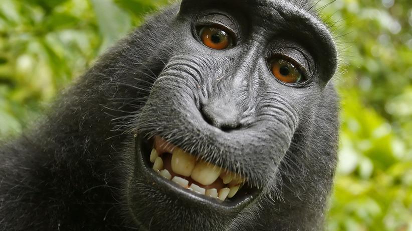 Urheberrecht: Selfie eines indonesischen Schopfaffenweibchens