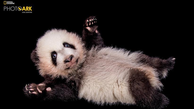 Panda aus dem Zoo Atlanta