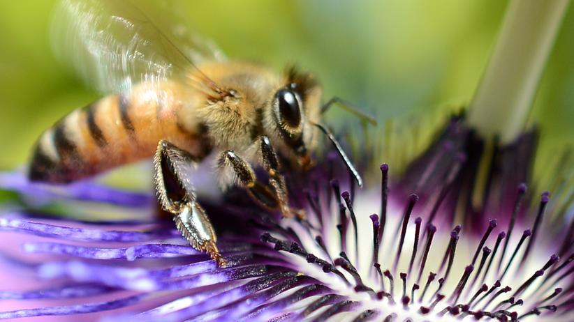 Bienensterben: Geht das auch maschinell? Biene auf einer Blüte