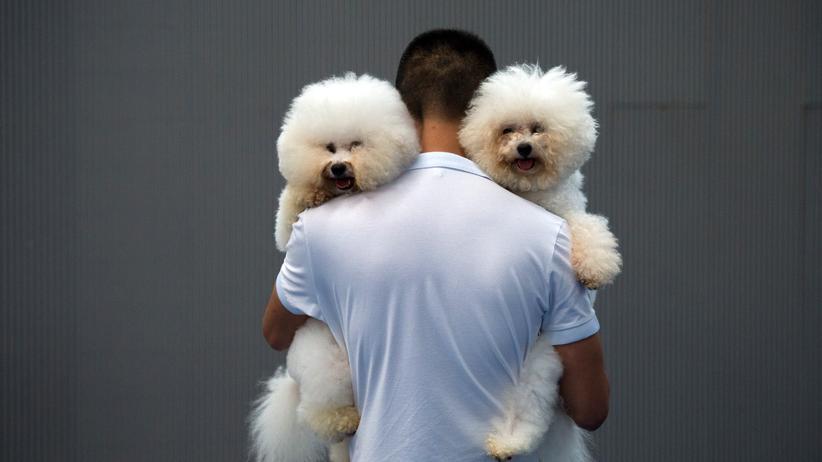 Haustiere: Ein Mann trägt zwei Zuchthunde der Rasse Bichon Frisé auf dem Arm.