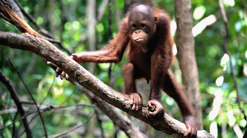 Leipziger Zoo: Planet der Affen