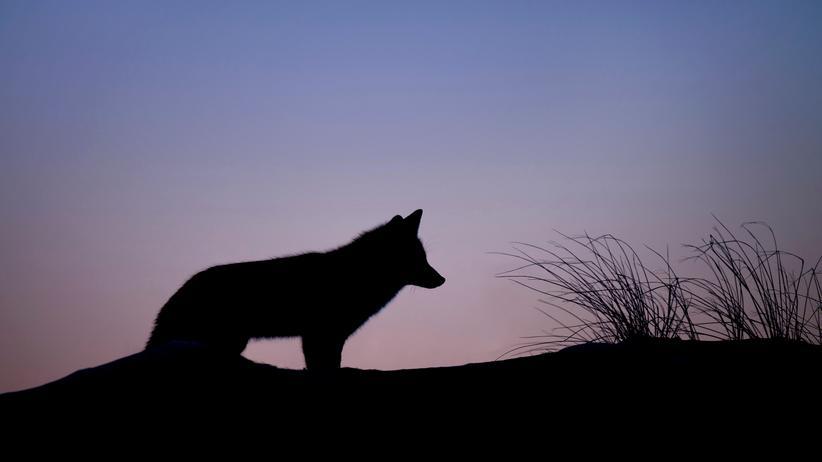 Königsbrück: Und die Biber müssen nicht vom Jäger getötet werden – darum kümmern sich die Wölfe.