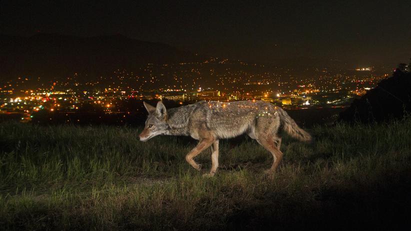 Kojoten: Ein Kojote in der Stad: Zumindest das Tier hat damit kein Problem.