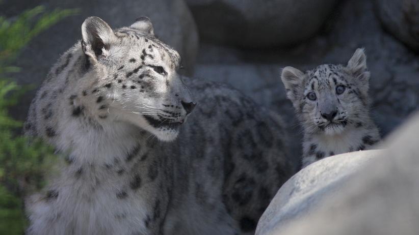 Alard von Kittlitz entdeckt: Die Rettung des Schneeleoparden