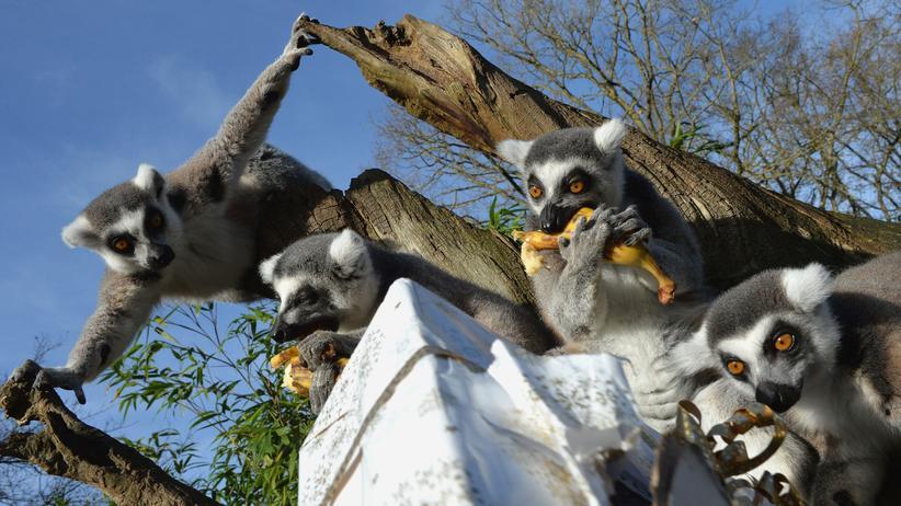 Lemuren: Auf dem Sprung