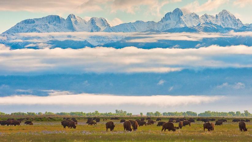 Rocky Mountains: Wie ein Gemälde aus der Zeit der Pioniere: Bisons vor den schneebedeckten Gipfeln der Rocky Mountains