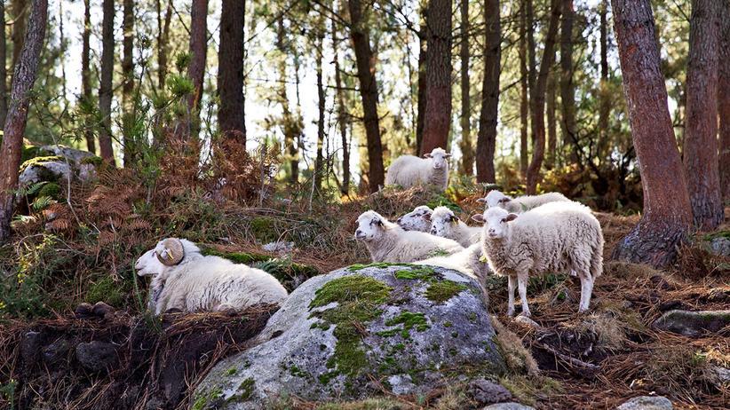 Portugal: Woll-Lust: Schafe genießen den Schatten der Bäume in der Serra Amarela.