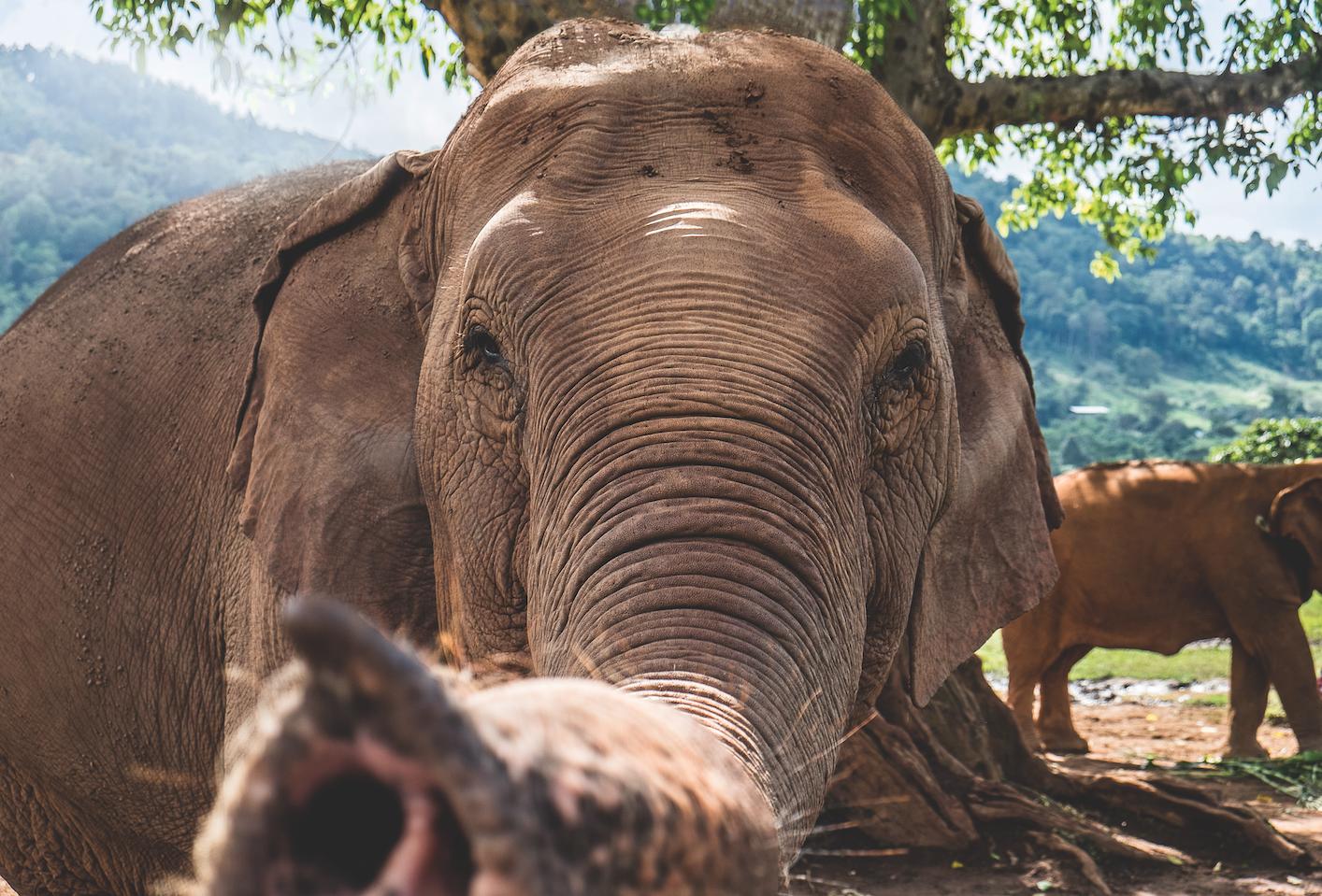 Elefanten in Thailand: Keine Scheu vor der Kamera: Die meisten der Tiere im Park wurden füher mit grausamen Methoden abgerichtet. Hier lernen sie, sich nicht mehr zu fürchten.