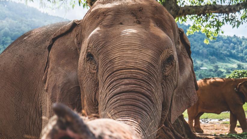 Elefanten in Thailand: Liebe & Bananen