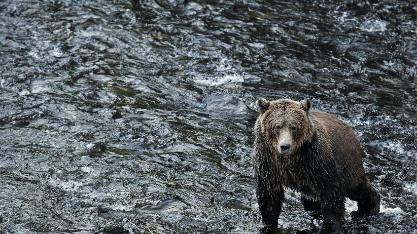Yukon: Beobachten, ausholen, zupacken, fressen: In Glendale Cove gibt es genügend Lachse für alle.