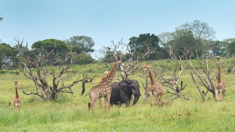 iSimangaliso Wetland Park: Wellness-Oase: Weil in einem Teil des Parks bei St Lucia keine Löwen leben, haben dort auch Giraffen einen komplett entspannten Alltag.