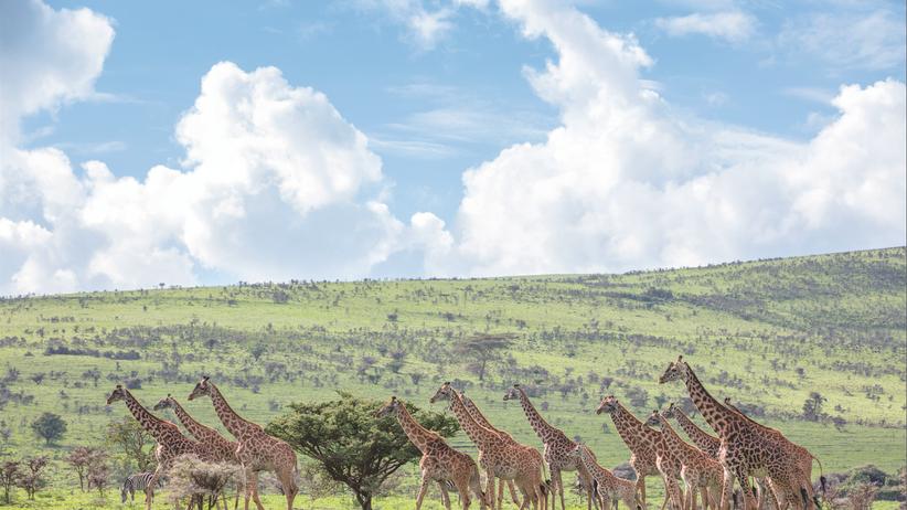 """Serengeti: Gemeinsam leben oder allein sterben – das ist Gesetz in der Serengeti. Selbst Giraffen wandern in Herden, auf Englisch treffend als """"towers"""" bezeichnet, über das Ngorongoro-Hochland"""