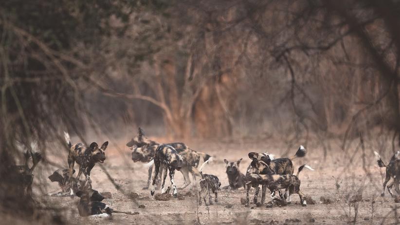 Simbabwe: Teamplayer: Die Tiere im Rudel haben eine eigene Sprache und feste Rituale, zweimal am Tag begrüßt jeder jeden.