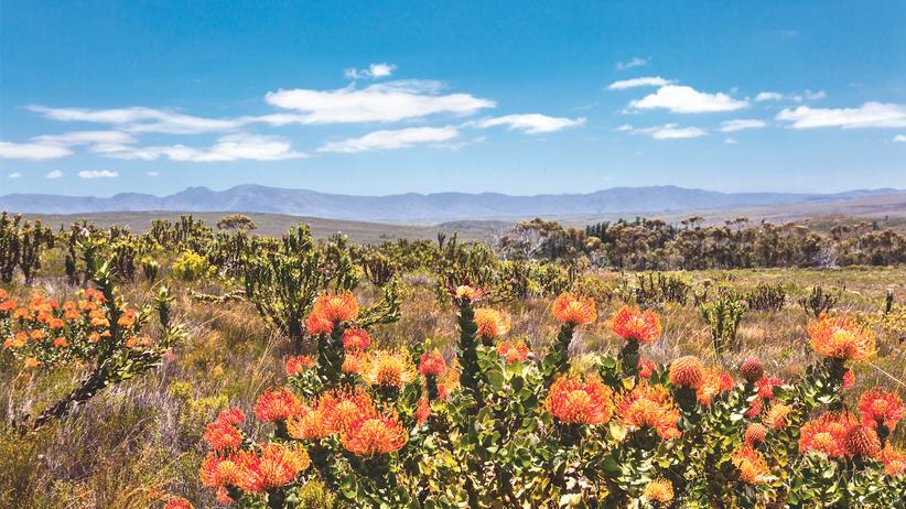 Südafrika: Die Protea ist Südafrikas Wappenblume. Allein von dieser Pflanze wachsen 15 Arten im Grootbos-Gebiet.