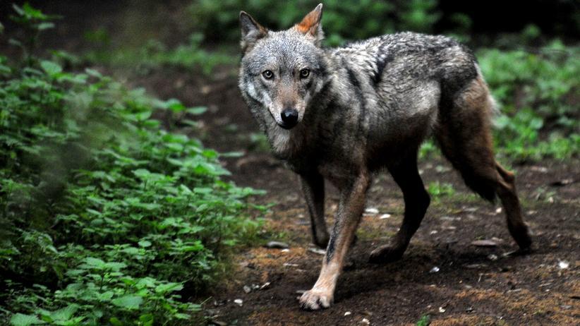 Tierschutz: Der Abschuss von Wölfen soll erleichtert werden