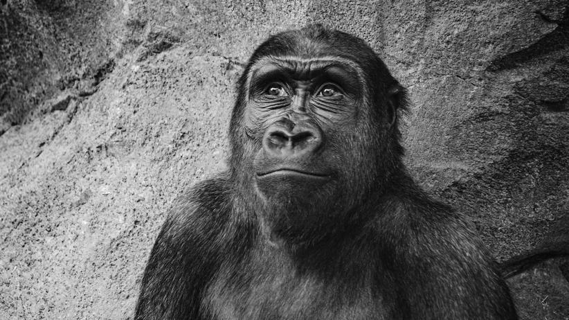 Krefelder Zoo: Woran er wohl gerade denkt?