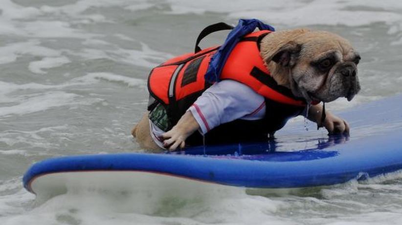 Surfer Hund Deagan klettert wieder auf das Surfbrett