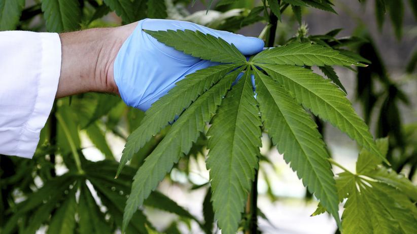 Cannabis: In Deutschland soll Cannabis für die Schmerztherapie angebaut werden.