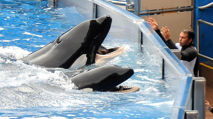 Tierschutz: Eine Liveshow mit Schwertwalen im SeaWorld-Park in Orlando, Florida