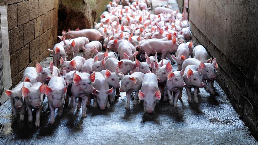 Schweinefleisch: Du musst ein Schwein sein in dieser Welt.