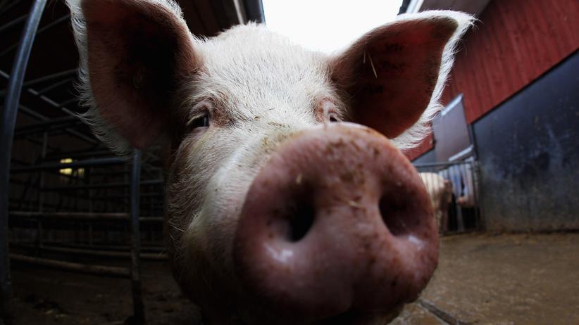 Tierhaltung: Ein Schwein in einem Stall in Langenhorn (Archivbild)