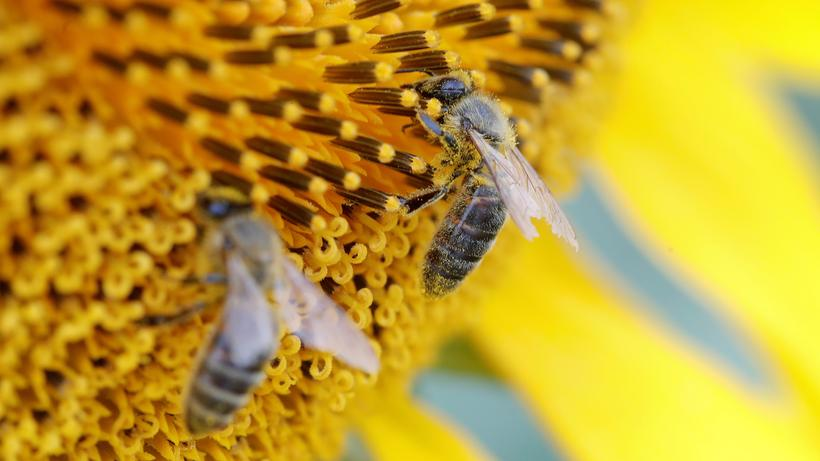 Umweltministerium: Bienen gehören zu den Insekten, die unter der Nutzung von Dünge- und Pflanzenschutzmitteln leiden.
