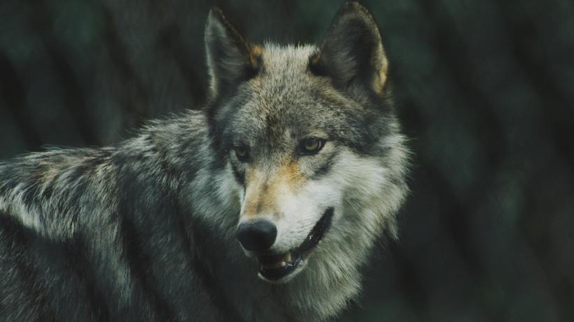Wildtiere: Wölfe leben lieber auf Militärgelände als in Naturschutzgebieten