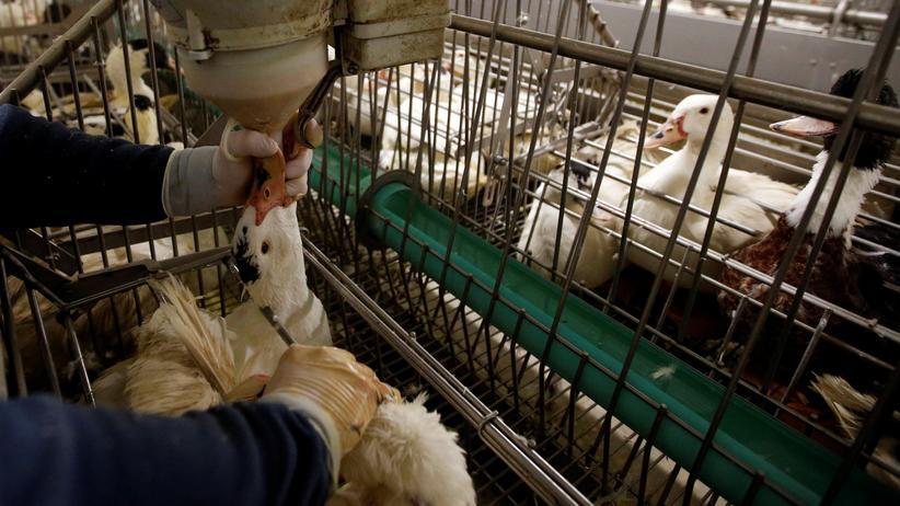 Foie Gras: Seit langem eine äußerst umstrittene Methode, Feinschmeckern ihre Delikatesse servieren zu können: Vor allem in Frankreich (beispielsweise auf diesem Hof in Montaut) werden Enten zwangsernährt und liefern am Ende: Foie Gras.